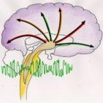 3. Smegenys sukuria binauralini ritma ir paskirsto i smegenu zieve